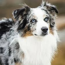 australian shepherd allergies learn about the australian shepherd dog breed from a trusted