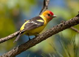 Backyard Birds Utah Western Tanager Identification All About Birds Cornell Lab Of