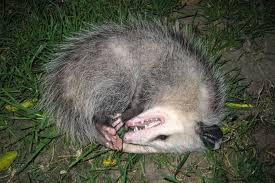 everything worth knowing about opossums in toronto