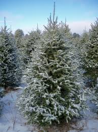 balsam fir christmas tree trees to norridgewock maine premium quality christmas tree