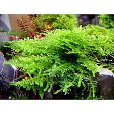 Aquascape Moss The Aquatic Plant Society U2013 Vesicularia Sp U201ctriangle U201d U2013 Triangle Moss