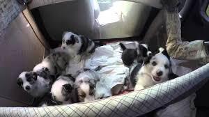 c me australian shepherds australian shepherd puppies birth to eight weeks youtube