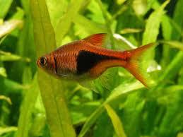 best aquarium plants for rasbora fish tropical ornamental