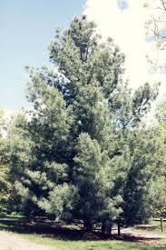 white pine tree white pine trees for sale in mn minnesota wholesale trees tree