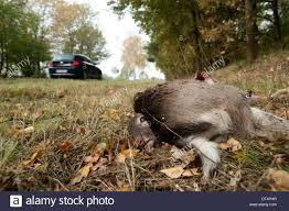 Rhodos Bad Segeberg Deer By Cars Stockfotos U0026 Deer By Cars Bilder Seite 2 Alamy