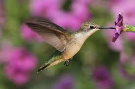 hummingbird flowers plants that attract hummingbirds to the garden new today