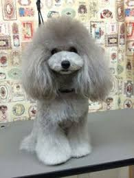 different toy poodle cuts no seriously have you seen my haircut photo groomed toy poodle
