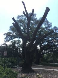 one of enzian theater s iconic southern live oak trees has died