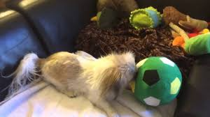 pekenese dog playing with ikea soccer ball after her bath youtube