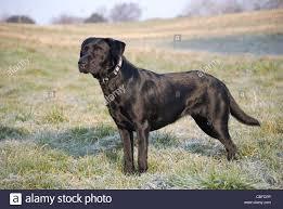 black labrador retriever stock photos u0026 black labrador retriever