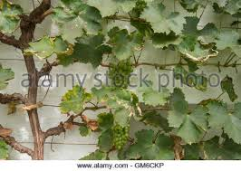 vitis vinifera ornamental grape vine melbourne