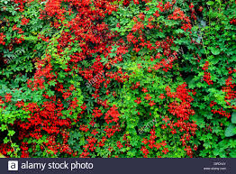 red tropaeolum speciosum climbing plant climber creeper growing