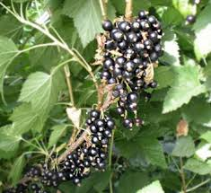 mcginnis berry crops black currants