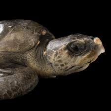 olive ridley sea turtle national geographic