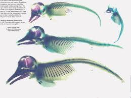cetacean evolution dolphin hind legs hind limb bud images