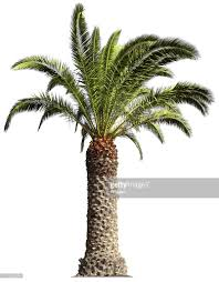 picture of palm tree 32 picture of palm tree backgrounds