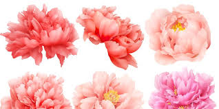 peony flowers 12 facts about peonies history of the peony flower