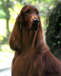 irish setter male dog names 77 best i love red dogs images on pinterest doggies red setter