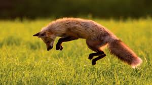 download jumping fox wallpaper free wallpapers cute animals