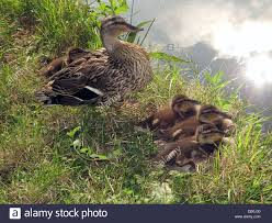 a duck and her brood of ducklings spring on the bridgewater canal