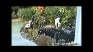 stop blue herons eating pond fish youtube
