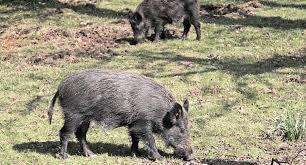 California Wildlife images San jose california will decide if wild hog killing is permanent jpg