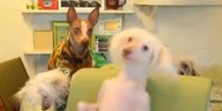 Dancing Dog Meme - bald dog dancing is the best thing you ll see all day video huffpost
