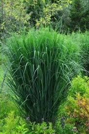 anthericum variegated sun 188 24 inches water reg acidic