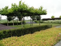 54 best garden trained clipped trees images on