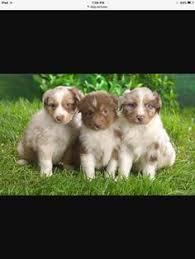 rescue an australian shepherd puppy mini australian shepherds for sale australian shepherd rescue