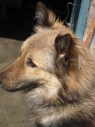 belgian sheepdog for sale belgian shepherd dog for sale in cheap price the lowest prices
