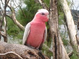 a look at birds page 23 backyard galah cam