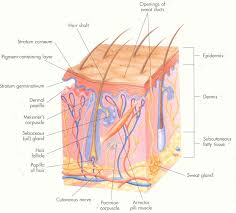 Human Anatomy Integumentary System The Integumentary System