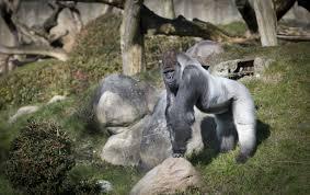 why did the cincinnati zoo shoot harambe the gorilla zoo