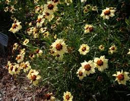 Florida State Wild Flower - coreopsis university of florida institute of food and