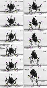 jumping mechanisms and performance of snow fleas mecoptera