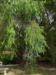 plantfiles pictures australian willow myrtle peppermint tree