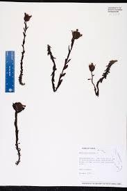 monotropa uniflora species page isb atlas of florida plants