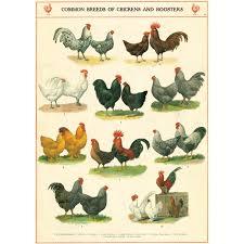 Backyard Chicken Breeds by Chicken Breeds Chart With New To Backyard Chickens Chicken Coop
