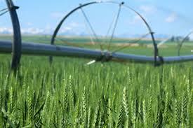tough montana wheat farmers hope rebound