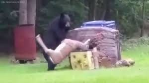watch as this bear is humorously startled and intrigued as it
