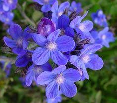 edible blue flowers pr00789 crimson columbine seeds aquilegia x caerulea this