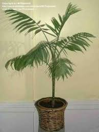 indoor palm trees pictures of house plants strikingly palms