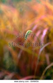 grasses ornamental stock photos grasses ornamental stock images