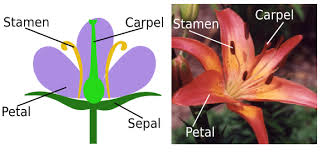 What Is The Meaning Of The Hibiscus Flower - parts of a flower carpel video u0026 lesson transcript study com