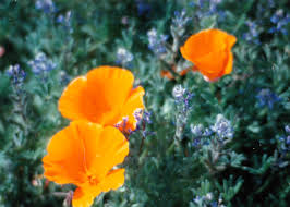 antelope valley california poppy reserve learn more every day
