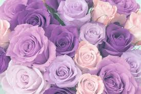 purple roses ultimate purple meaning guide goldflorist