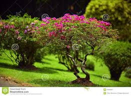 beautiful green garden lawn with pink bushes stock photo image