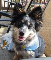 australian shepherd eskimo spitz mix plott australian cattle dog mix australian cattle dogs mixes