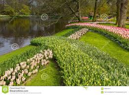 flower garden in amsterdam flower strip of flowers in the park at keukenhof editorial image